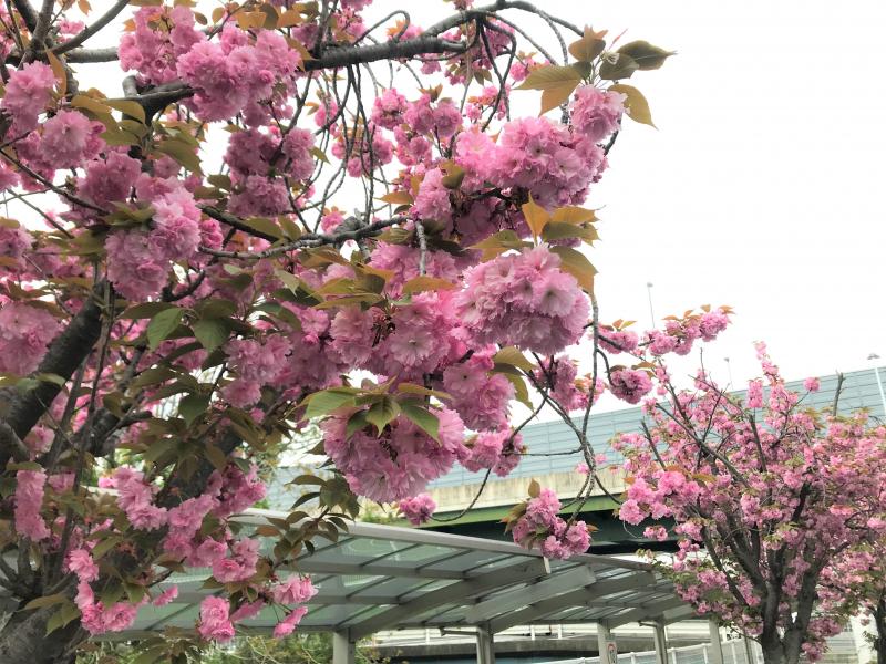 八重桜が満開🌸